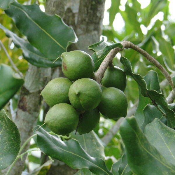 Macadamianoten in de boom